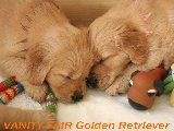 Golden Baby's